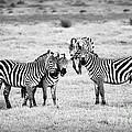 Zebras In Black And White by Sebastian Musial