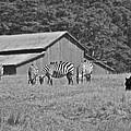 Zebras In San Simeon by Eric Tressler