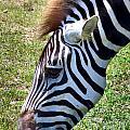 Zebras by Art Dingo