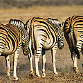 Zebras Three by Alistair Lyne