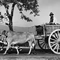 Zebu Cart by Richard Harrington