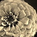 Zinna In Sepia by Bruce Bley