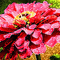 Zinnia Blast by Rich Franco
