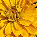 Zinnia Close Up by Bruce Bley