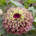 Zinnia Elegans Queen Red Lime Variety by VisionsPictures