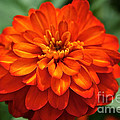 Zinnia Flare by Susan Herber