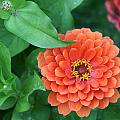 Zinnia Flower Stages Of Life by Bonnie Boden