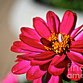 Zinnia Personality by Susan Herber