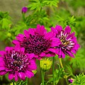 Zinnias by John Greaves