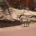 Zion Mountain Goat by Marcia Crispino