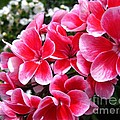 Zonal Geranium Named Candy Fantasy Kiss by J McCombie