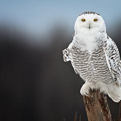 Owl Images - Artist