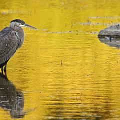 Heron  Images