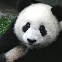 Artistic Panda