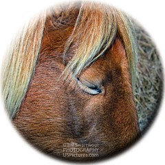 Assateague Pony Photography - Artist