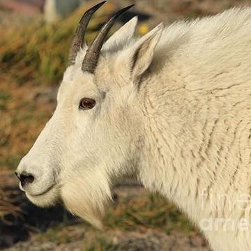 Mountain Goats Collection
