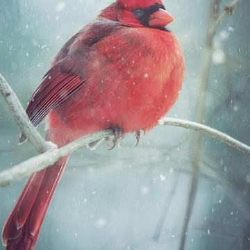 Cardinals & Bluebirds
