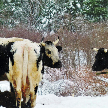 Cow photography and digitally enhanced photopaintings
