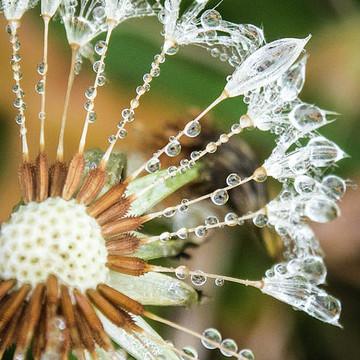 Dewy Dewdrop Dandelions