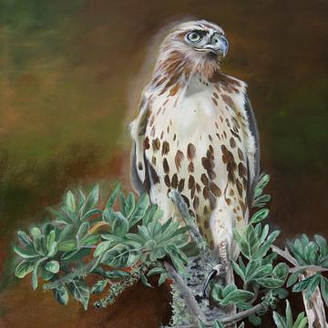 Song Birds & Birds Of Prey  paintings.