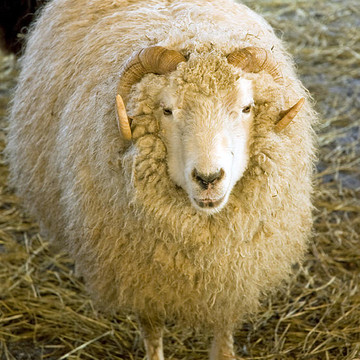 2015 Year of the Sheep Ram Goat Collection