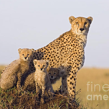 A Future For Cheetahs Collection