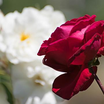 A Rose Garden Collection
