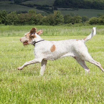 Action - Orange and White Italian Spinone Collection