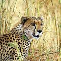 African Big Cats Collection