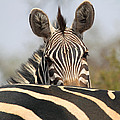 African Wildlife excluding BIg Cats Birds and Primates Collection