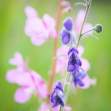 Alaska Flora Collection