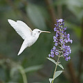 Albino Ruby-throated Hummingbird Collection