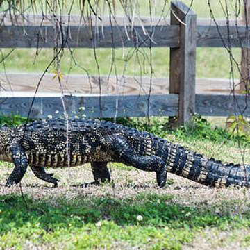 Alligators Collection