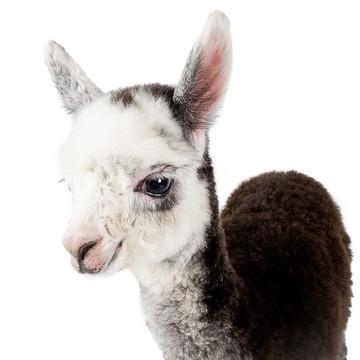 Alpacas & Llamas Collection