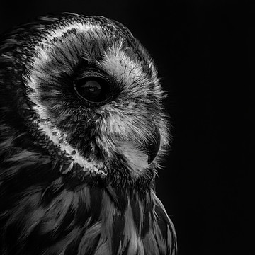 Amelia the short eared owl Collection