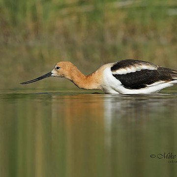 American Avocets Collection