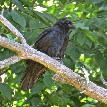 American Crow 101 Collection