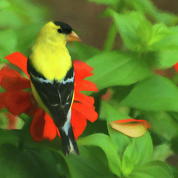 American Goldfinches Collection