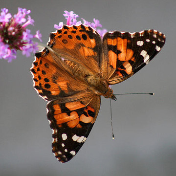 American Lady Butterflies Collection