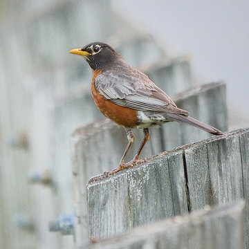 American Robin Collection