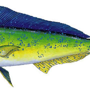 Anatomical Gamefish Art