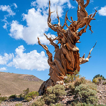 Ancient Bristlecone Collection