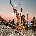 Ancient Bristlecone Pine Forest Collection
