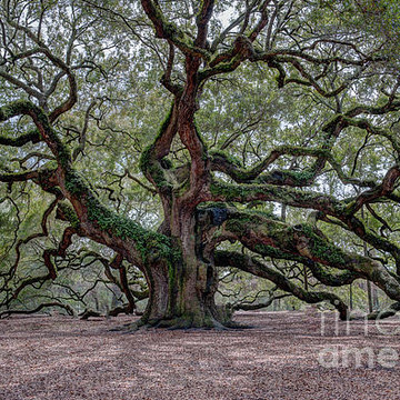 Angel Oak Tree Collection