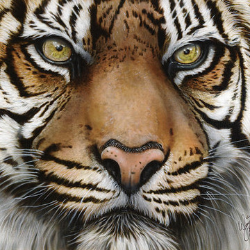 Animals- Siberian and Bengal Tigers Collection