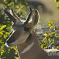 Antelope  Pronghorn - Stock Images Collection