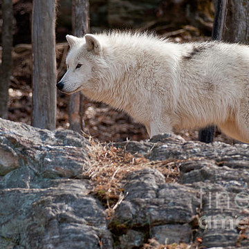 Arctic Wolves Collection