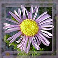 Asters Collection