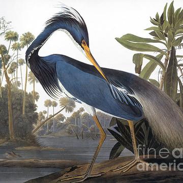 Audubon - Birds of America Collection
