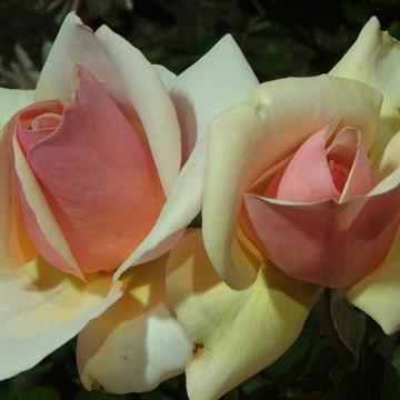 Balboa Park Flowers-Rose Garden Collection